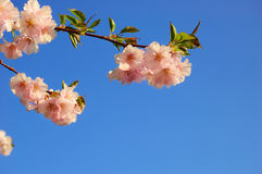 Flowering Japanese cherry tree Royalty Free Stock Photography