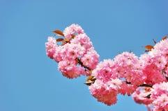 Flowering Japanese cherry tree Stock Photos