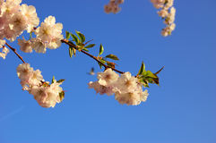 Flowering Japanese cherry tree Stock Photography