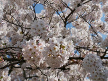 Flowering Japanese cherry tree covered in blossom. Flowering Japanese cherry tree covered in clusters of white spring blossom in a close up view symbolic of the Stock Photos
