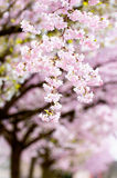 Flowering japanese cherry trees Stock Photography