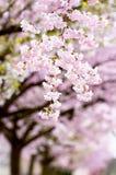 Flowering japanese cherry trees Stock Photography