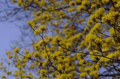 Flowering Japanese cornelian cherry in spring, Japan Royalty Free Stock Photos