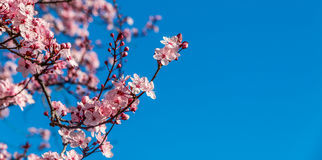 Flowering Japanese plum with copy space. Shallow focus on a pink Japanese flowering plum which stands out against a vivid blue sky Royalty Free Stock Photography