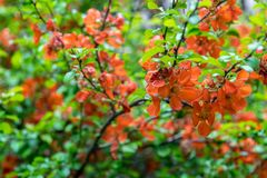 Flowering Japanese quince tree in the garden on a clear day stock photography