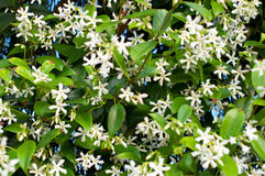 Flowering Jasmine. Background of white Flowering Jasmine flowers royalty free stock photos