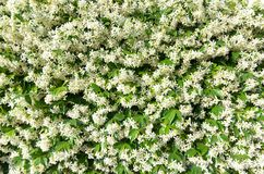 Flowering jasmine flower climber covers a fence. royalty free stock photos