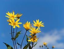 Flowering Jerusalem artichoke against blue sky Royalty Free Stock Images