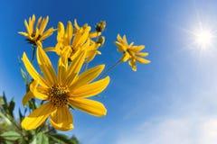 Flowering Jerusalem artichoke against blue sky Stock Photos