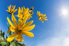 Flowering Jerusalem artichoke against blue sky Stock Photos
