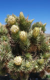 Flowering Joshua Tree (Yucca brevifolia ) near Red Rock Canyon, Nevada. Royalty Free Stock Photos
