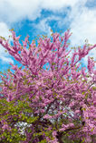 Flowering  Judas Tree Royalty Free Stock Image