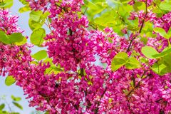 Flowering judas tree in macro closeup during spring, vibrant pink flowers, popular decorative tree specie. A flowering judas tree in macro closeup during spring royalty free stock photography