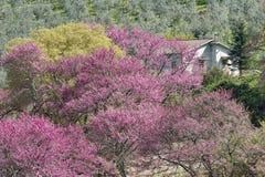 Flowering Judas trees Stock Photo