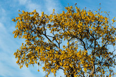 Flowering K�whai Tree Stock Photography