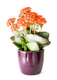 Flowering kalanchoe Royalty Free Stock Photography