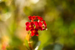 Flowering Kalanchoe. Kalanchoe flower closeup. House plant Royalty Free Stock Photos