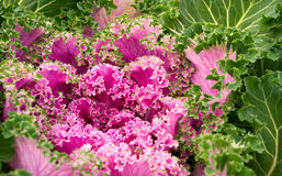 Flowering kale Stock Photo