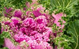 Flowering kale. Kale flower in green and purple Stock Photo