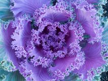 Flowering kale Stock Photography