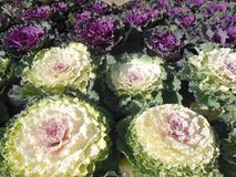 Flowering kale ornamental cabbages, white and purple foliage. Flowering white and purple kale Royalty Free Stock Image