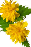 Flowering Kerria japonica Stock Photography