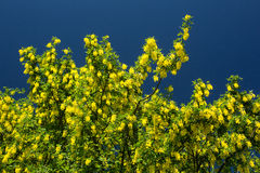 Flowering laburnum anagyroides. Yellow flowering laburnum anagyroides tree on blue sky background Royalty Free Stock Photography