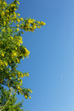 Flowering laburnum anagyroides. Yellow flowering laburnum anagyroides tree on blue sky background with faint jet trail Royalty Free Stock Photo