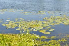 Flowering lake in the summer stock photos