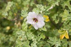 Flowering Lavatera maritima Stock Images