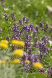 Flowering lavender Stock Photos