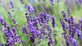 Flowering Lavender Royalty Free Stock Photos