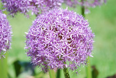 Flowering Lavender Allium Flowers Stock Image