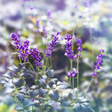 Flowering lavender Royalty Free Stock Photos