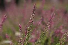 Flowering lavender field, beautiful landscape stock images