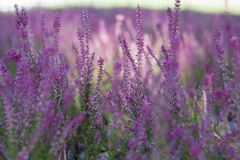 Flowering lavender field, beautiful landscape royalty free stock images
