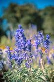 Flowering lavender. Flowering fragrant lavender in the botanical garden of the city of Odessa, in Ukraine royalty free stock images