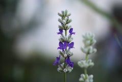 Flowering lavender. Flowers, summer flowers, purple flowers. The scent of lavender. Flowering lavender. A flower in the field. Macro stock images
