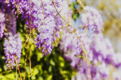 The flowering of lavender in the gardens of Florence.Italy Stock Photography