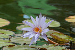 Flowering Lavender Water Lily with Lily Pads Stock Photo