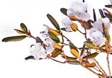Flowering ledum Stock Photo