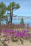 Flowering ledum on the sand. The photo was taken on the shore of Lake Baikal on island Olkhon royalty free stock photography