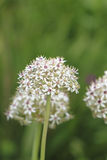 Flowering Leek Stock Images