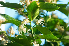 Flowering lemon tree Stock Photos