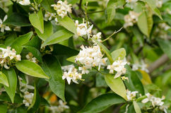 Flowering lemon tree Royalty Free Stock Image