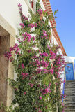 Blooming liana Stock Photo