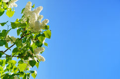 Flowering lilac against the blue sky Royalty Free Stock Image