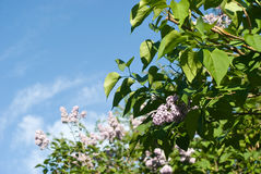 Flowering lilac bushes Royalty Free Stock Image