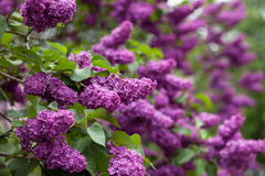 Flowering of lilac in the park. Beautiful lilac bloom in a green park Royalty Free Stock Photography