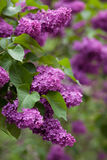 Flowering of lilac in the park. Beautiful lilac bloom in a green park Stock Photos